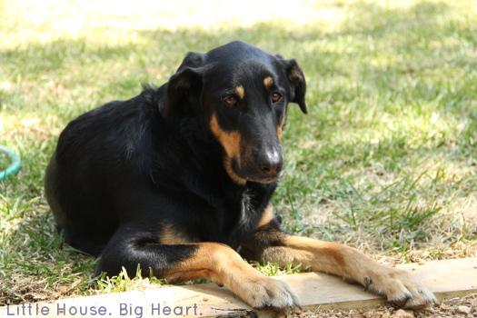 Indy Dog