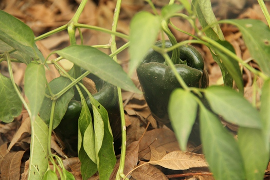 Winter Poblano Peppers - Little House. Big Heart.