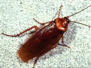 Tree Roach
