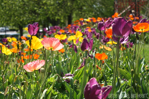 amboise poppies